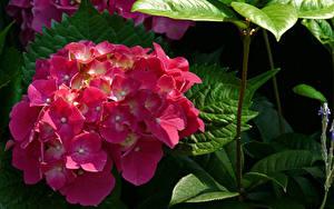 Bilder Hortensien Großansicht Rosa Farbe Blumen