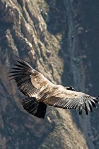 Fotos Berg Peru Vögel Gyps Flug Condor, Raptor, Andes ein Tier