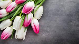 Bilder Tulpen Hautnah Grauer Hintergrund Blumen
