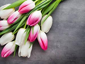Bilder Tulpen Großansicht Grauer Hintergrund Blumen