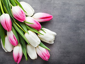 Hintergrundbilder Tulpen Großansicht Grauer Hintergrund Blumen