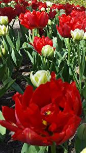 Hintergrundbilder Niederlande Park Tulpen Keukenhof Blumen