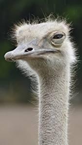 Fotos Strauß Großansicht Unscharfer Hintergrund Kopf Schnabel Blick Tiere