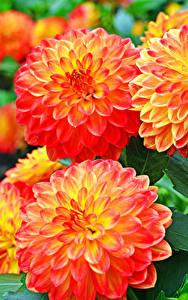 Hintergrundbilder Dahlien Großansicht Orange Blumen