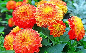 Hintergrundbilder Dahlien Nahaufnahme Orange Blumen