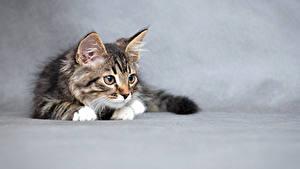 Fotos Hauskatze Grauer Hintergrund Kätzchen