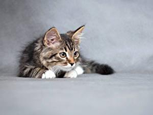 Fotos Katze Grauer Hintergrund Kätzchen Tiere