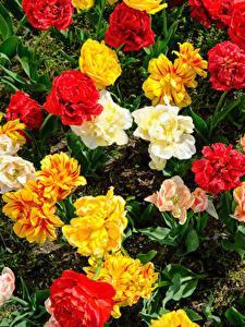 Hintergrundbilder Tulpen Hautnah Mehrfarbige Blüte