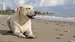 Hintergrundbilder Hund Labrador Retriever Strände Weiß Liegen ein Tier