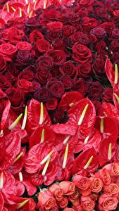 Hintergrundbilder Rosen Anthurium Viel Rot Blumen