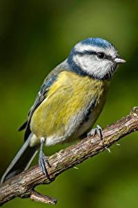 Fotos Meise Vögel Ast Blue tit