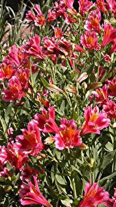 Bilder Inkalilien Viel Rosa Farbe Blumen