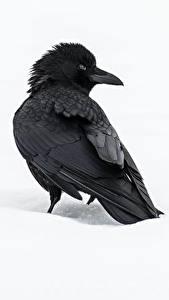 Fotos Aaskrähe Vögel Weißer hintergrund Tiere