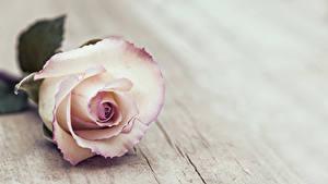 Hintergrundbilder Rosen Großansicht Bretter Blumen