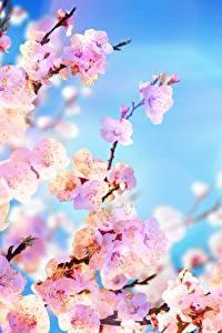 Hintergrundbilder Himmel Japanische Kirschblüte Ast Rosa Farbe Blüte