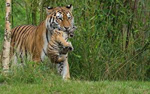 Bilder Große Katze Tiger Jungtiere 2