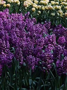 Hintergrundbilder Niederlande Park Hyazinthen Viel Keukenhof Blumen