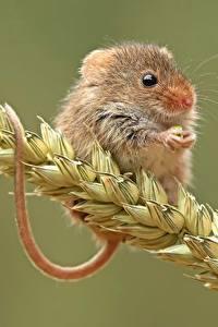 Hintergrundbilder Mäuse Hautnah Spitze Tiere
