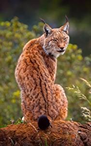 Bilder Luchse Rücken Hinten Sitzend Tiere