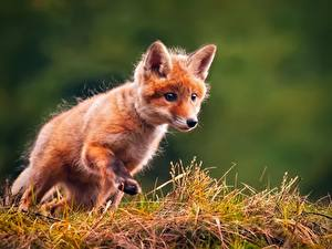 Image Foxes Cubs Grass Staring Animals
