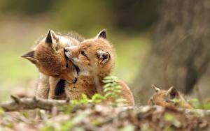 Bilder Füchse Jungtiere Zwei Süß