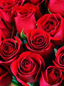 Hintergrundbilder Rosen Großansicht Rot Blüte