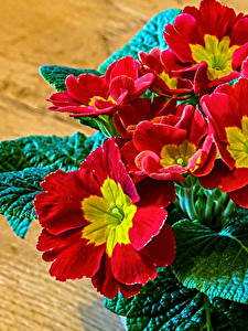 Hintergrundbilder Primeln Nahaufnahme Bretter Rot Blattwerk Blüte