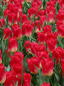 Bilder Tulpen Hautnah Rot Blüte