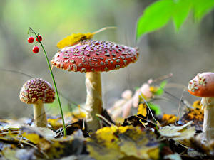 Hintergrundbilder Beere Herbst Pilze Natur Drei 3