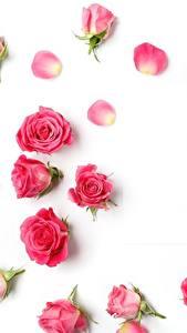 Bilder Rosen Weißer hintergrund Rosa Farbe Blumen