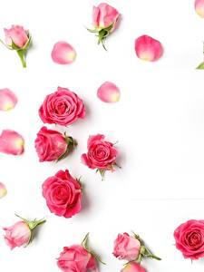 Bilder Rosen Weißer hintergrund Rosa Farbe