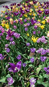 Hintergrundbilder Parks Tulpen Viel Blüte