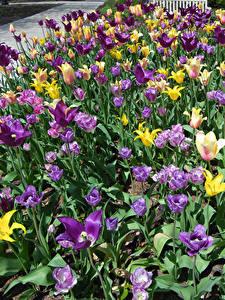 Hintergrundbilder Park Tulpen Viel Blumen