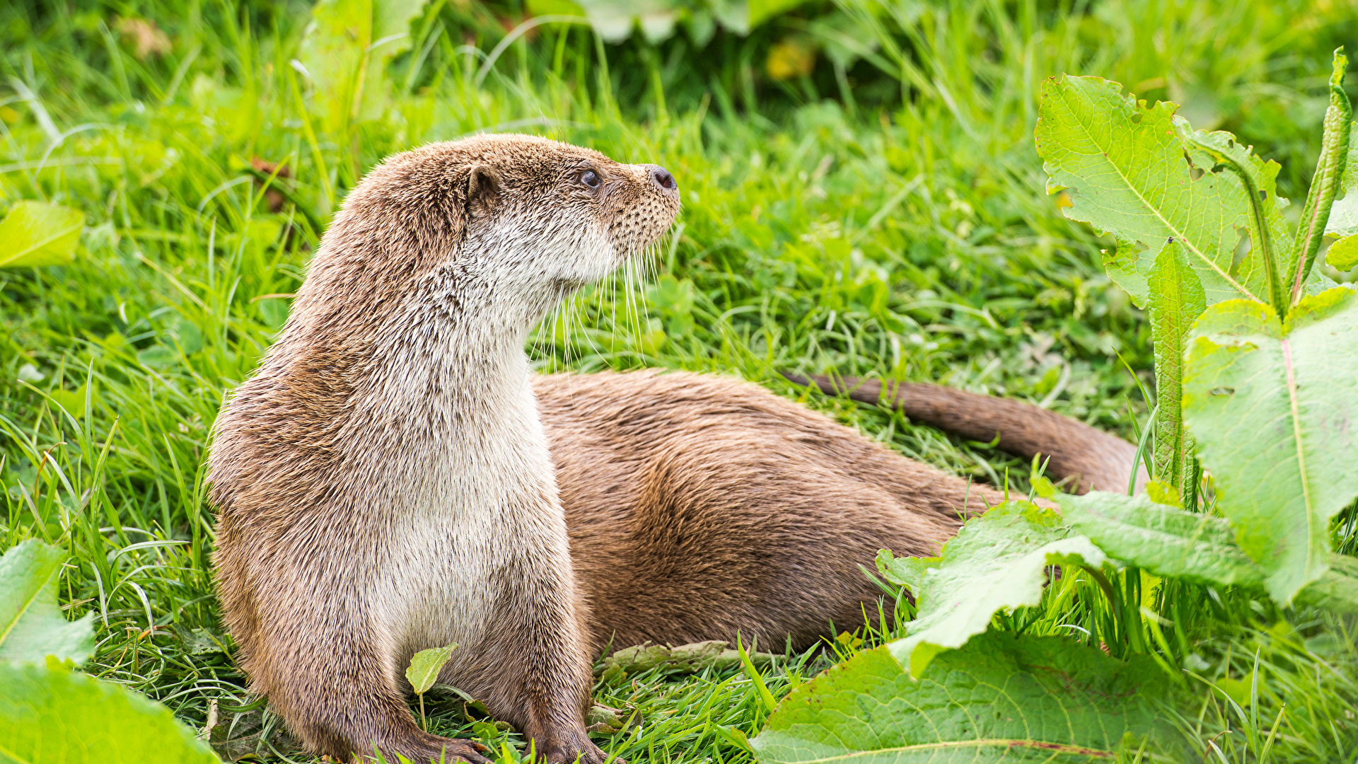 Pictures Animal Eurasian Otter Grass 1920x1080