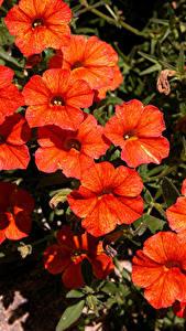 Bilder Calibrachoa Großansicht Rot Blumen