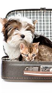 Hintergrundbilder Hund Katze Weißer hintergrund Koffer Yorkshire Terrier Katzenjunges