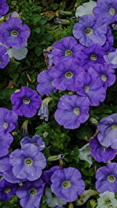 Photo Petunia Many Closeup Violet Flowers