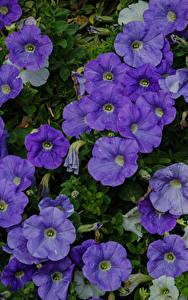 Bilder Petunien Viel Hautnah Violett Blumen