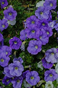 Bilder Petunien Viel Großansicht Violett Blumen