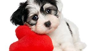 Wallpaper Valentine's Day Dog White background Puppy Heart Staring Animals