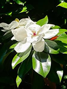 Photo Closeup Magnolia Leaf White Flowers