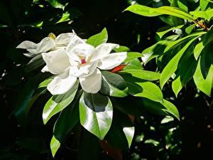 Fotos Großansicht Magnolien Blatt Weiß Blüte