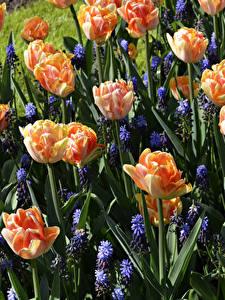 Bilder Tulpen Hyazinthen Hautnah Blüte