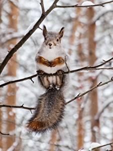 Fotos Hörnchen Winter Ast Tiere