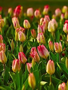 Hintergrundbilder Acker Viel Tulpen Unscharfer Hintergrund Blüte
