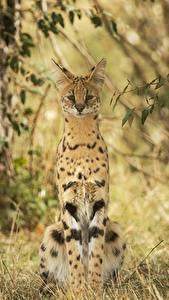 Pictures Big cats Tierboskat Grass Animals