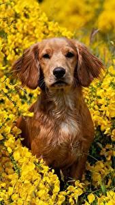 Desktop hintergrundbilder Hund Blick Sitzend Braunes Spaniel ein Tier