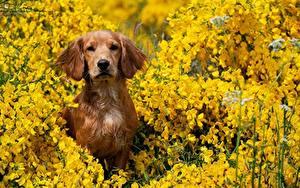 Fotos Hund Blick Sitzend Braunes Spaniel ein Tier