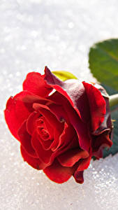 Bilder Rosen Nahaufnahme Schnee Rot Blumen