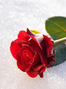 Bilder Rosen Großansicht Schnee Rot Blumen